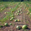 Ripe water-melons - Stock Photo