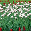 Lawn of white and red tulips — Photo