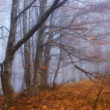 Beeches in a fog - Stock Photo