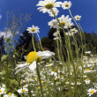 Field camomiles - Stockfoto