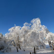Birches in hoarfrost — Stockfoto
