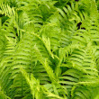 Green leaves of a fern - Stock Photo