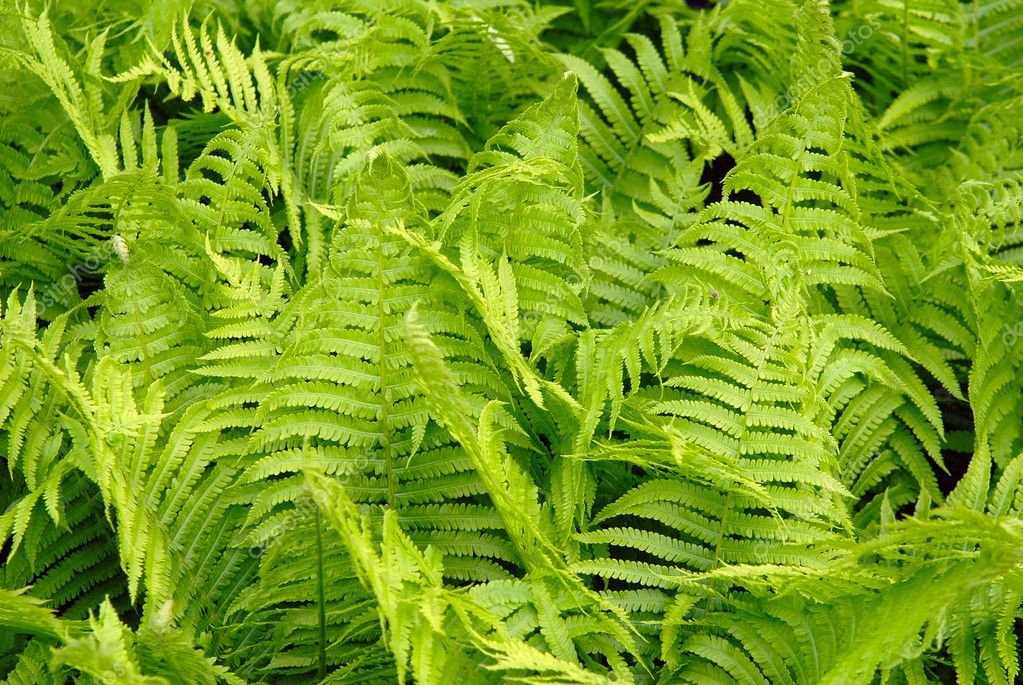 Green leaves of a fern as a background  Stock Photo #2572865