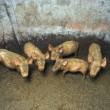 Dirty small pigs — Foto de stock #2645729