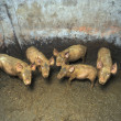 Foto Stock: Dirty small pigs