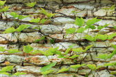 Wall - stone ivy — Stock Photo