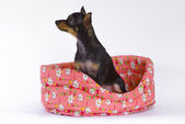 Toy terrier in un cestino — Foto Stock