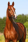 Chestnut horse — Stock Photo