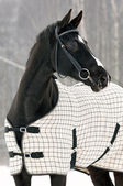 Black horse under the blanket in winter — Stock Photo