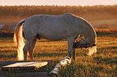 White horse at sunset in a field — Stock Photo