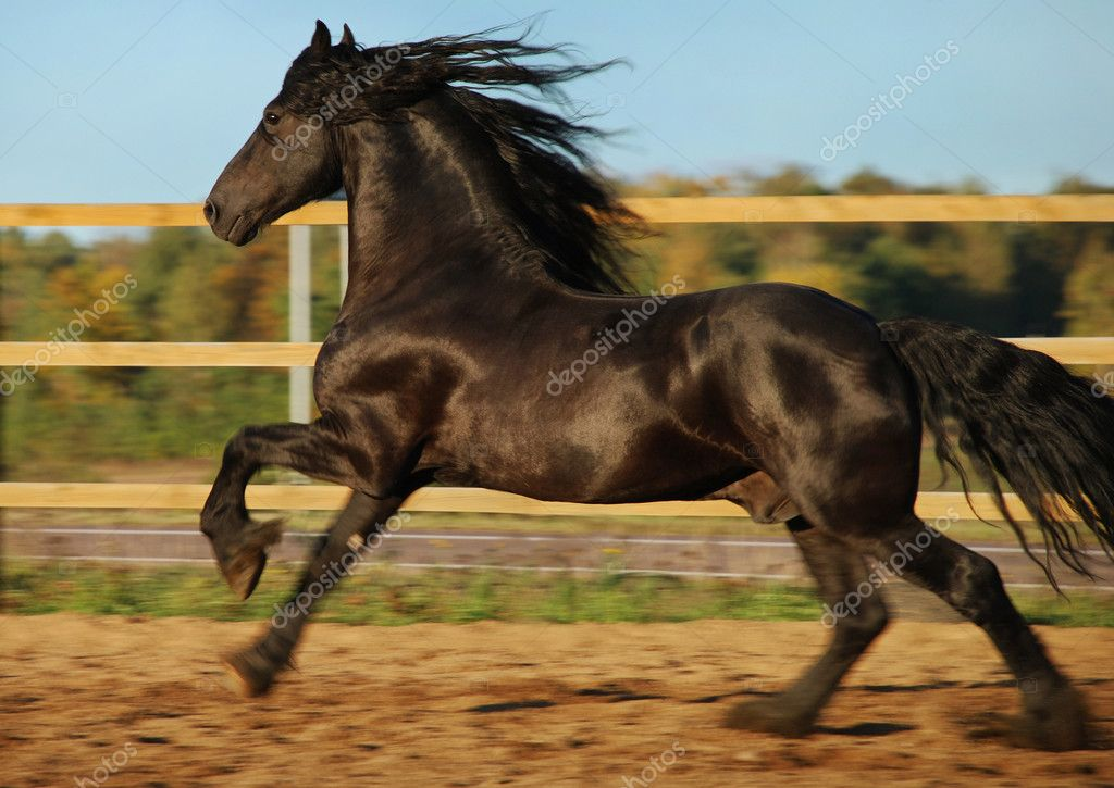 Friesian Horse Galloping Friesian Stallion to Gallop