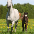 Stock Photo: Mare with a foal in a meadow