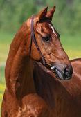 Chestnut horse — Stock Photo