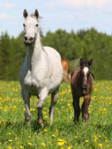 Mare with a foal in a meadow — Stock Photo