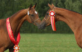 Champion horses — Stock Photo