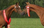 Champion horses — Stock Photo