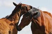 Friendship horses — Stock Photo