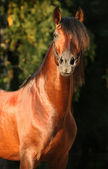 Andalusian horse — Stock Photo