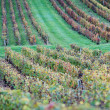 Stock Photo: Green Vineyard