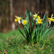 Springtime daffodils — Stock Photo