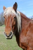 Field horse — Stock Photo