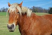 сельских лошадь — Стоковое фото