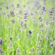 Lavender stems - Stock Photo