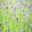 Stock Photo: Lavender stems