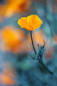 California golden poppie in deep blue — Stock Photo