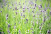 Lavender stems — Stock Photo