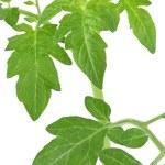 Green tomato leaves — Stock Photo #2410446