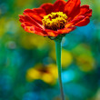 Stock Photo: Red daisy in colored field