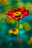Red daisy in colored field — Stock Photo