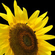 Sunflower, isolated on black. — Stock Photo