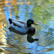 Mallard duck. — Stock Photo