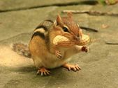 Cute Chipmunk. — Stock Photo