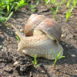 Little snail in the garden — Stock Photo