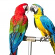 Two beautiful bright colored parrots - Stock Photo