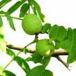 Walnuts growing on the branch isolated — Stock Photo #2088559