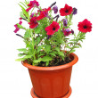 Nice flowers growing in a red pot — Stock Photo