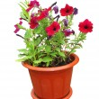 Nice flowers growing in a red pot - Stock Photo