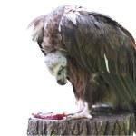 Aigle de vautour Griffon manger de la viande — Photo