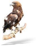 Captured Hawk eagle on a wooden bark — Stock Photo