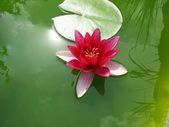 Beautiful blooming pink water lily Lotus — Stock Photo