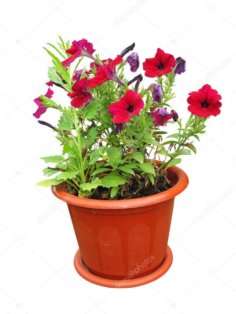 Bonitas flores creciendo en una maceta roja foto de - Flores de maceta ...