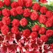 Bright red flowers with green leaves — Stok fotoğraf