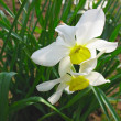 Two white narcissus spring daffodils — Stock Photo
