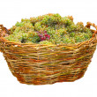Green grape in wood basket isolated — Stock Photo