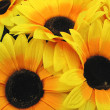 Beautiful yellow Sunflower petals — Stock Photo #2258048