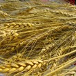 Closeup of golden grain wheat ears — Stock Photo